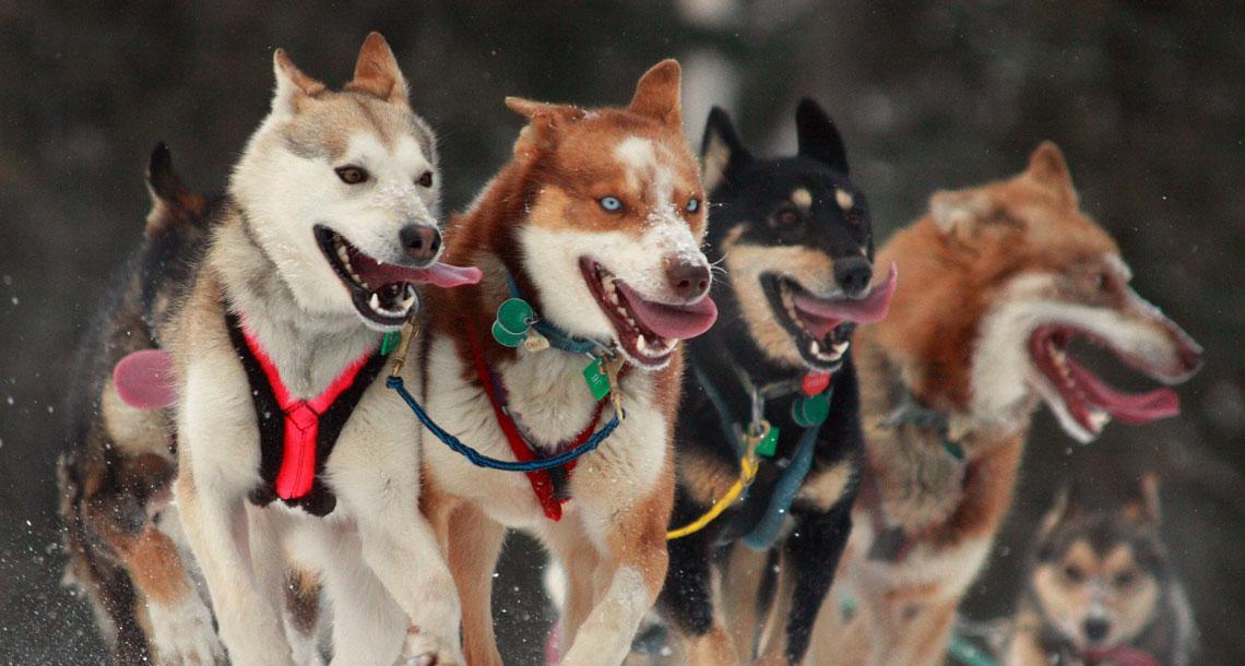 Certified Alaskan Dog Breeder